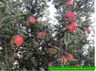 แอปเปิ้ลแคชเมียร์